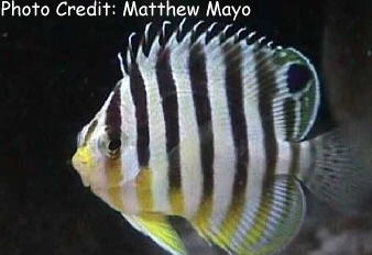 Multi-barred Angelfish (Paracentropyge multifasciata) Photo Credit:Matthew Mayo