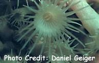 Parazoanthus aquicomus Photo Credit:Daniel Geiger