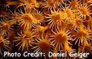 Parazoanthus anxinellae Photo Credit:Daniel Geiger