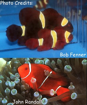 Maroon/Spinecheek Anemonefish (Premnas biaculeatus) Photo Credit:Bob Fenner (Top) and John Randall (Bottom)