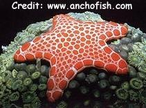 Red Tiled Sea Star (Pentaceraster duebeni) Photo Credit:anchofish.com