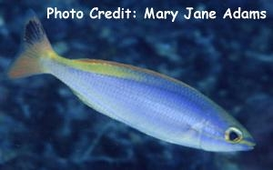 Pentapodus aureofasciatus