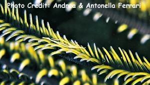Periclimenes ceratophthalmus Photo Credit:Andrea & Antonella Ferrari