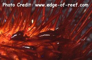 Periclimenes hitsutus Photo Credit:edge-of-reef.com