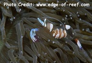Periclimenes magnificus Photo Credit:edge-of-reef.com
