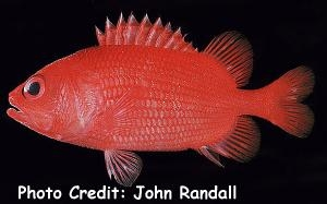 Roughscale Soldierfish (Plectrypops lima) Photo Credit:John Randall