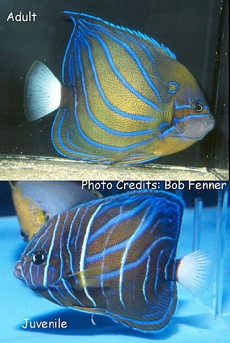 Blue King/Blue-Ringed Angelfish (Pomacanthus annularis) Photo Credit:Bob Fenner