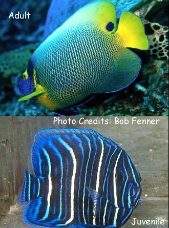 Yellow-Face Angelfish (Pomacanthus xanthometapon) Photo Credit:Bob Fenner