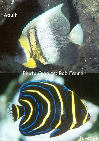 Cortez Angelfish (Pomacanthus zonipectus) Photo Credit:Bob Fenner