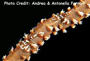 Pontonides unciger Photo Credit:Andrea & Antonella Ferrari
