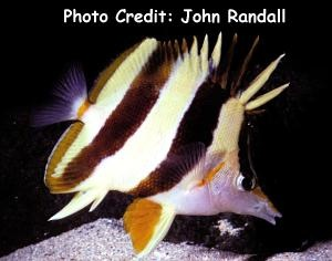 Prognathodes basabei Photo Credit:John Randall