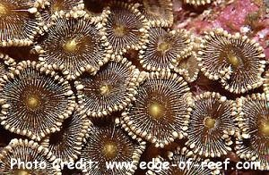 Protopalythoa vestitus Photo Credit:edge-of-reef.com