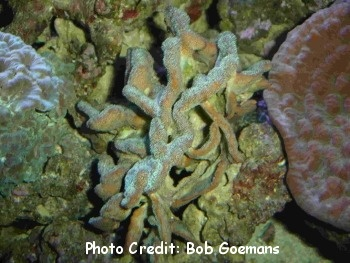 Cat's Paw Coral (Psammocora contigua) Photo Credit:Bob Goemans