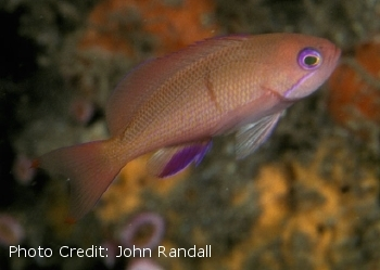 Unknown (Pseudanthias hiva) Photo Credit:John Randall