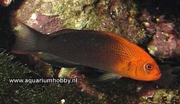 Dottyback Species | Section Fish Library Group Dottybacks Species Pseudochromis
