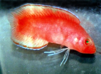 Dottyback Species | Section Fish Library Group Dottybacks Species Pseudoplesiops