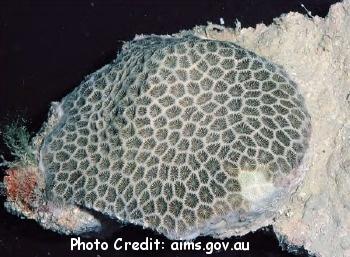 Pseudosiderastrea tayami Photo Credit:aims.gov.au