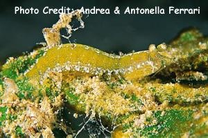 Pseudosquilla ciliata Photo Credit:Andrea & Antonella Ferrari