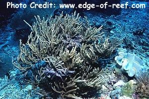 Bushy Gorgonian (Rumphella sp.) Photo Credit:edge-of-reef.com