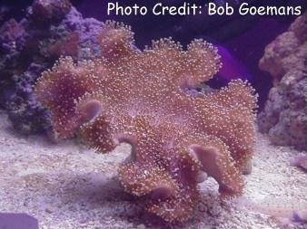Toadstool/Umbrella/Mushroom Coral (Sarcophyton glaucum) Photo Credit:Bob Goemans