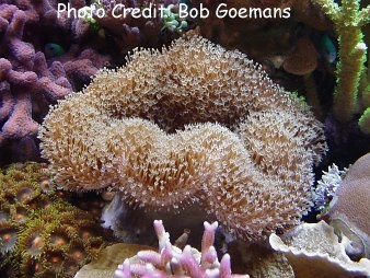 Elephant Ear Coral/Ruffled Leather  (Sarcophyton trocheliophorum) Photo Credit:Bob Goemans