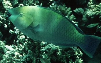 Rusty Parrotfish (Scarus ferrugineus) Photo Credit:John Randall