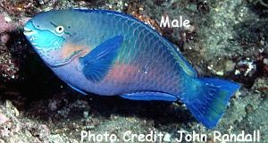 Quoy's Parrotfish (Scarus quoyi) Photo Credit:John Randall