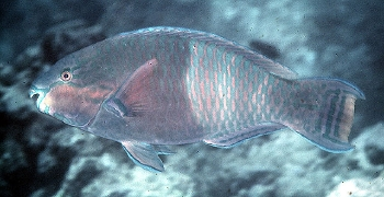Eclipse Parrotfish (Scarus russelii) Photo Credit:John Randall