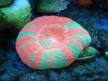 Scolymia australis Photo Credit:Bob Goemans