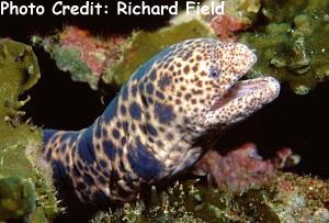 Tiger Snake Moray (Scuticaria tigrina) Photo Credit:Richard Field