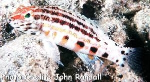 Serranus baldwini Photo Credit:John Randall