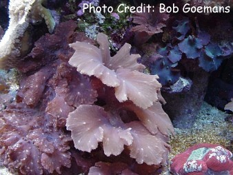 Scalloped/Cabbage/Flat/Lobed/Leaf Leather Coral (Sinularia dura) Photo Credit:Bob Goemans