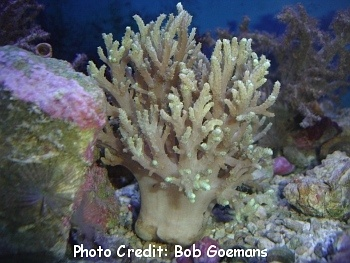 Fingered Leather Coral (Sinularia notanad) Photo Credit:Bob Goemans