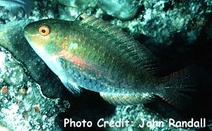 Redband Parrotfish (Sparisoma aurofrenatum) Photo Credit:John Randall