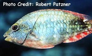 Redtail Parrotfish (Sparisoma chrysopterum) Photo Credit:Robert Patzner