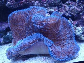Gigantic Sea/Carpet Anemone (Stichodactyla gigantea) Photo Credit:Bob Goemans
