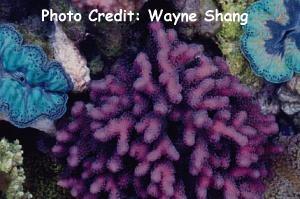 Pistil/Cluster Coral (Stylophora pistillata) Photo Credit:Wayne Shang