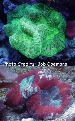 Open Brain/Folded Brain Coral (Trachyphyllia geoffroyi) Photo Credit:Bob Goemans