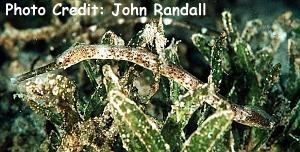 Trachyrhamphusbicoarctatus Photo Credit:John Randall