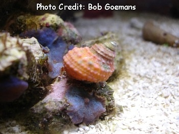 Orange Turbo/Turban Snail (Turbo heisei) Photo Credit:Bob Goemans