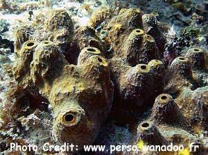 Verongula rigida Photo Credit:perso.wanadoo.fr