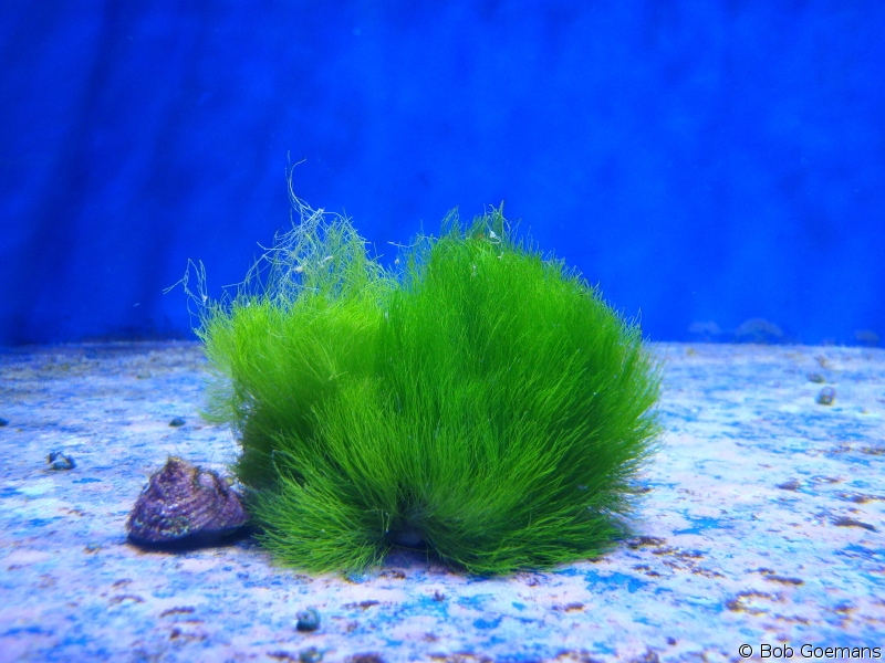 Help With Green Hair Algae Reef Central Online Community,How To Grow Sweet Potatoes Indoors