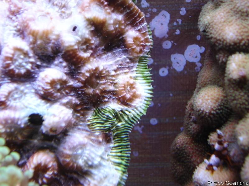 Ostreobium, a boring type of microalgae