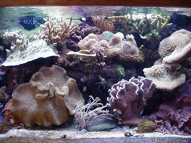 Plenum in my 125 gallon reef system - corals outgrew tank within three years!