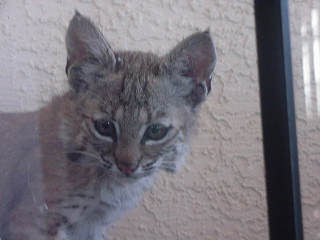 Baby bobcat looking in through the window.