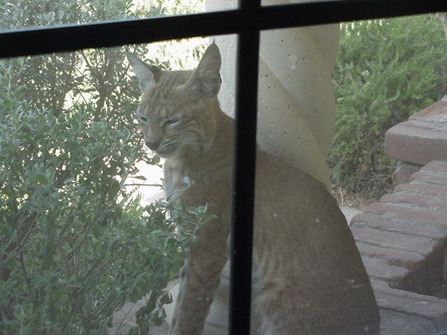 Mother bobcat on the front porch.