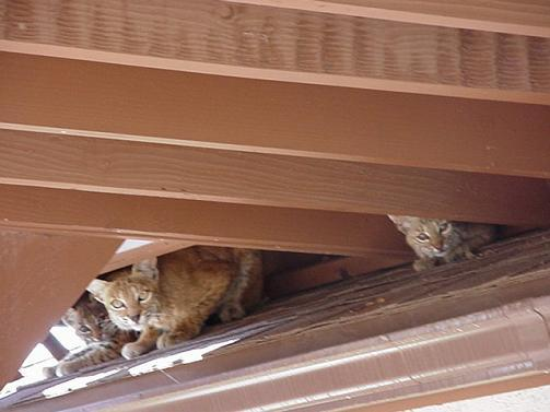 Mother bobcat and babies under the rear porch.