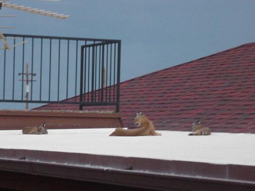 Mother bobcat and babies on the rear porch roof.