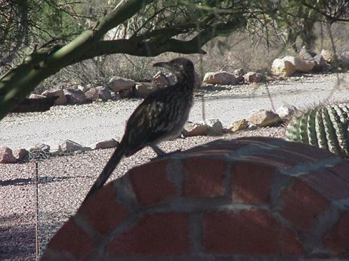 A visiting road runner.