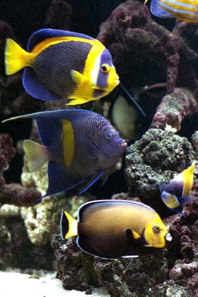 Saltcorner aquarium photo gallery for Fish only saltwater tank